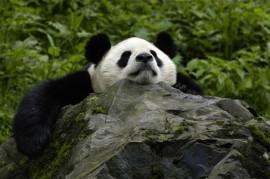 Chengdu tour for panda
